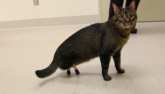 Prosthetics help injured cat live a better life