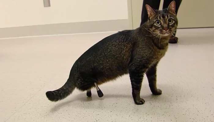 Prosthetics help injured cat live a better life