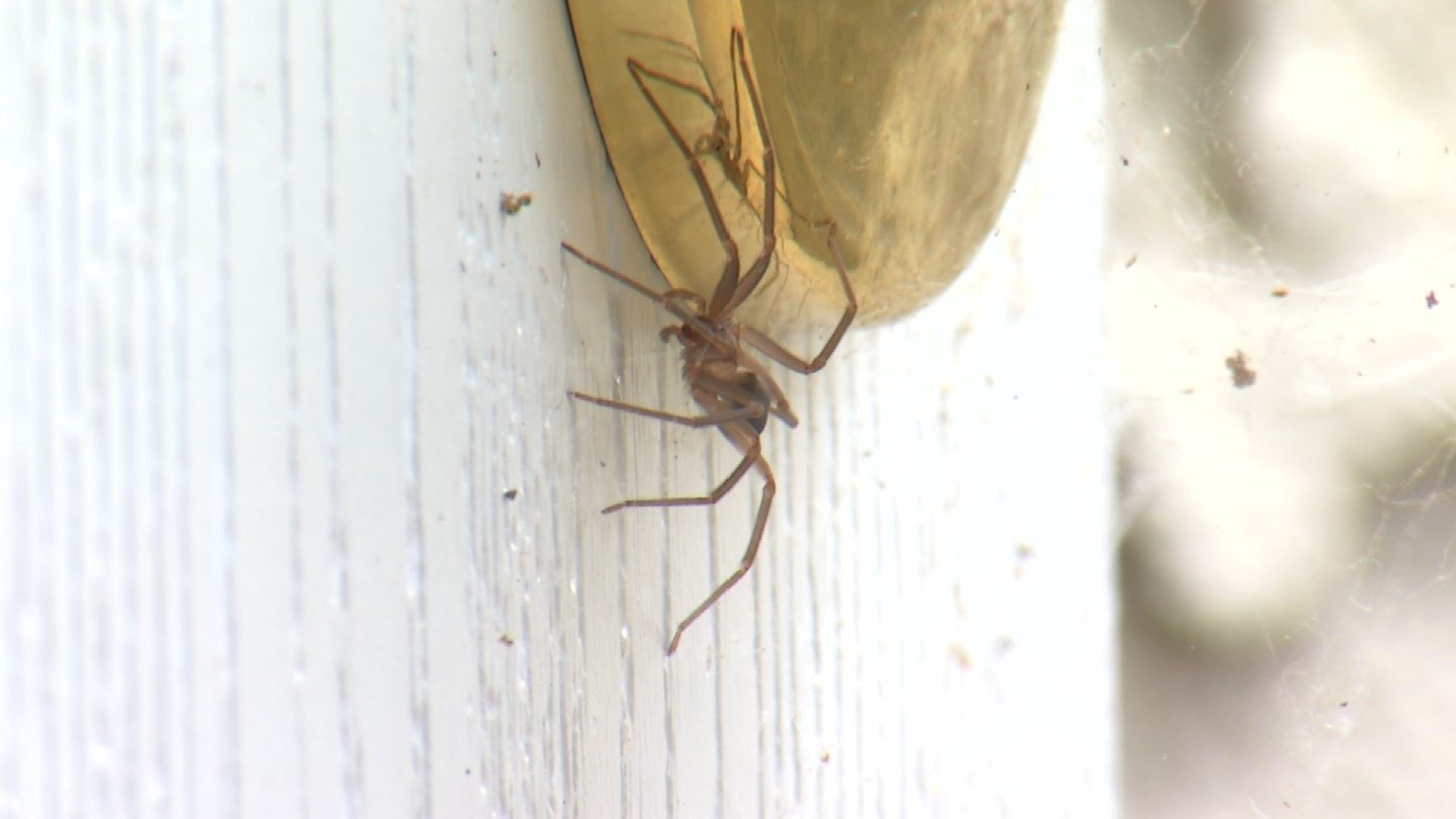 The brown recluse spiders took The Lakes at Lionsgateby surprise,crawling into clothing,closets andbeds. (KCTV5)