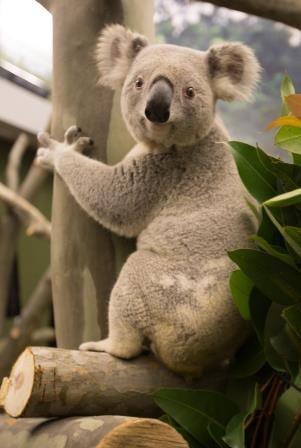 Kansas City Zoo hosts birthday party for koalas WDAMTV 7News