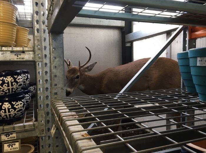 The deer walked into the garden center and somehow managed to work his way behind some breakable pottery. Once he was behind the racks, he just stood there calm as can be. (Submitted)