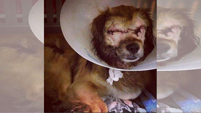 The injured dog was rushed to Kansas City's shelter where vets would remove his injured eyes.