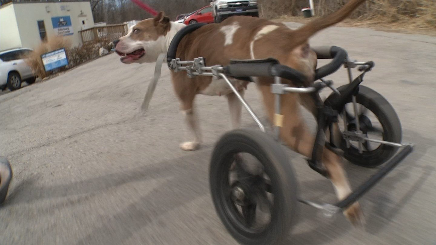 When Hermosa came to the shelter, she had a spinal cord injury which made it hard for her to use her back legs. So she was given some wheels instead. (KCTV5)