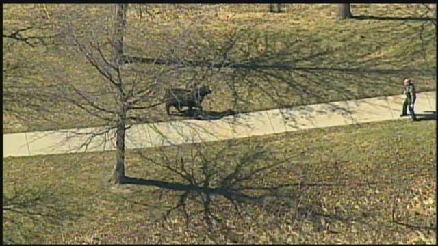 The Kansas Department of Transportation closed ramps about noon Friday near Kansas 10 and Interstate 435 after an semi-trailer truck overturned on the westbound Interstate 35 lanes to Kansas 10, releasing dozens of cows. (KCTV5)