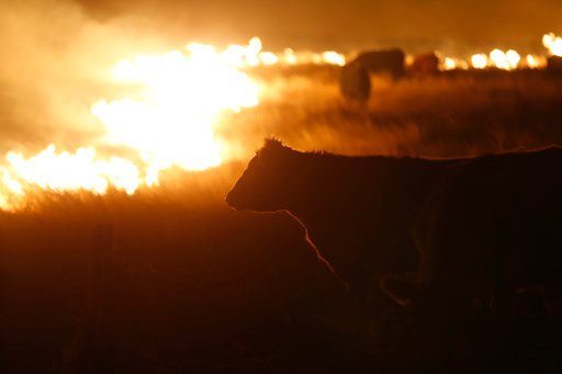 (Bo Rader/The Wichita Eagle via AP). Cattle graze by a wildfire near Protection, Kan., early Tuesday, March 7, 2017. Grass fires fanned by gusting winds scorched swaths of Kansas grassland.