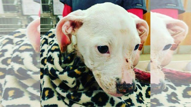 The pit bull puppy named Aurora is receiving treatment for second- and third-degree burns. (The Human Society of Greater Kansas City, KCTV)