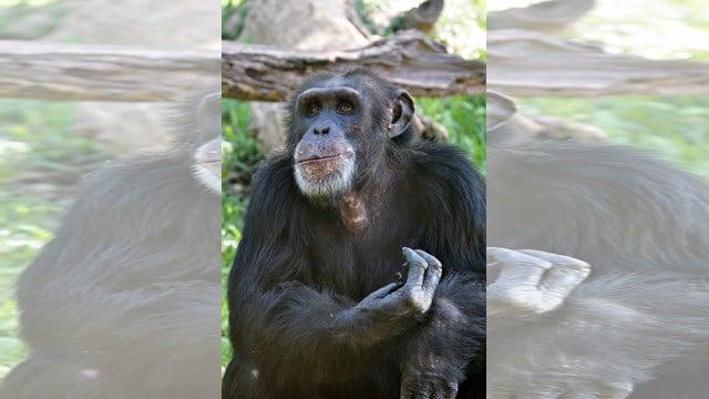 Bahati was born at the Sedgwick County Zoo, in Wichita, KS, on May 28, 1986. (Kansas City Zoo)