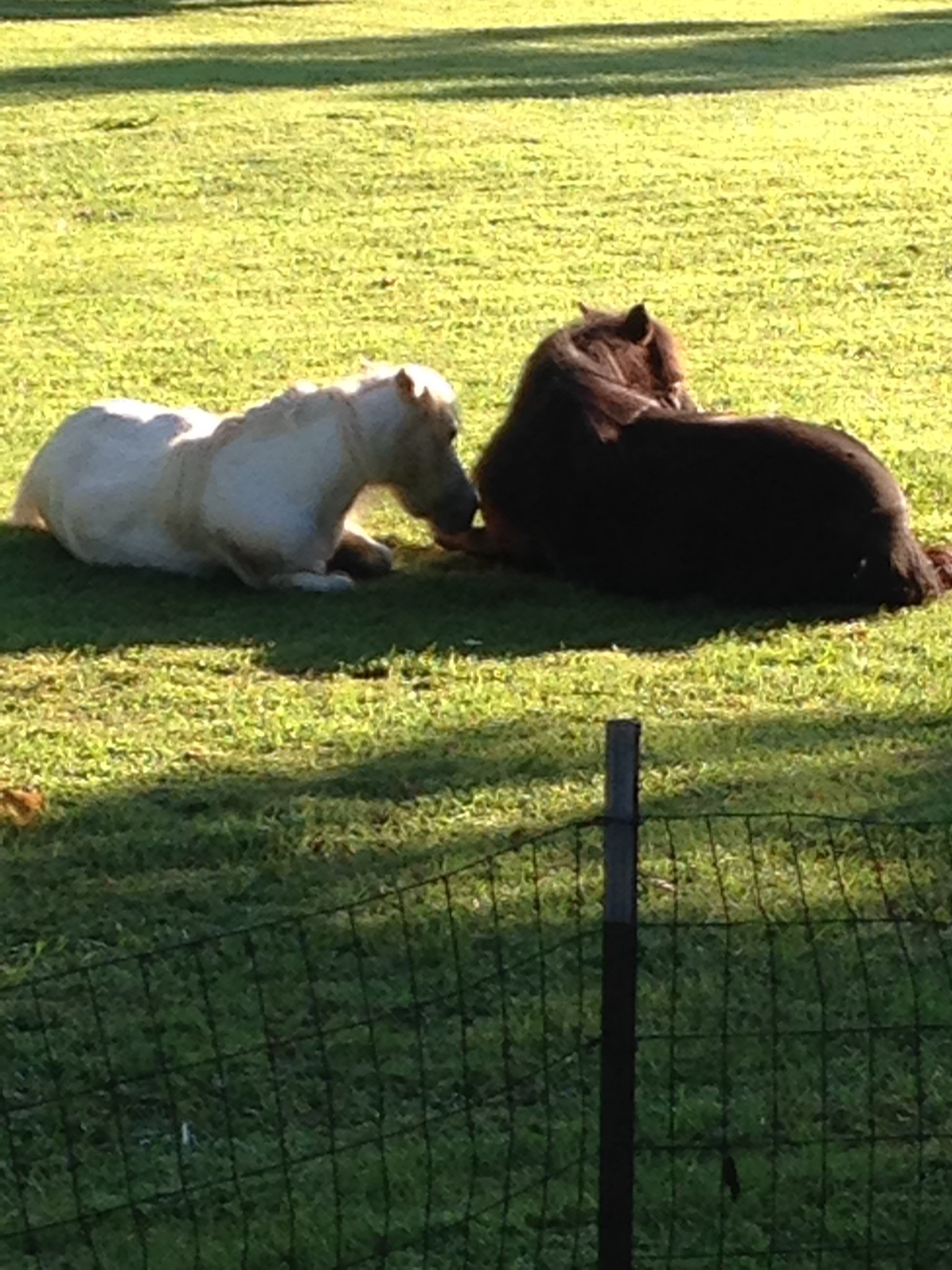 It was a heart-wrenching discovery for a St. Joseph family when they found their beloved miniature horses were brutally attacked by dogs in their backyard.(Submitted)