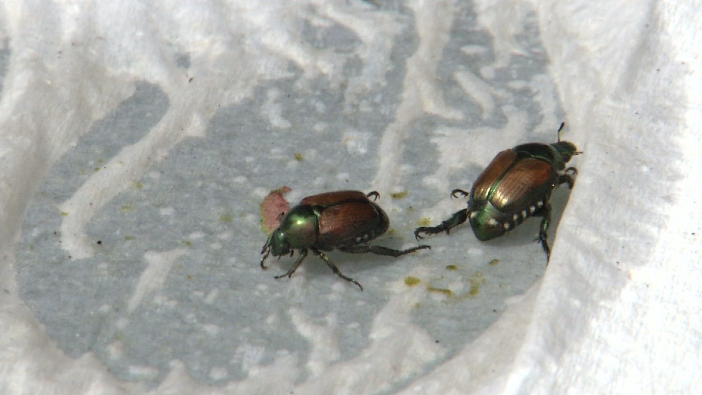 The Japanese beetle is a pesky problem that's grown over the past ten years, and this year is the worst yet. (KCTV5)