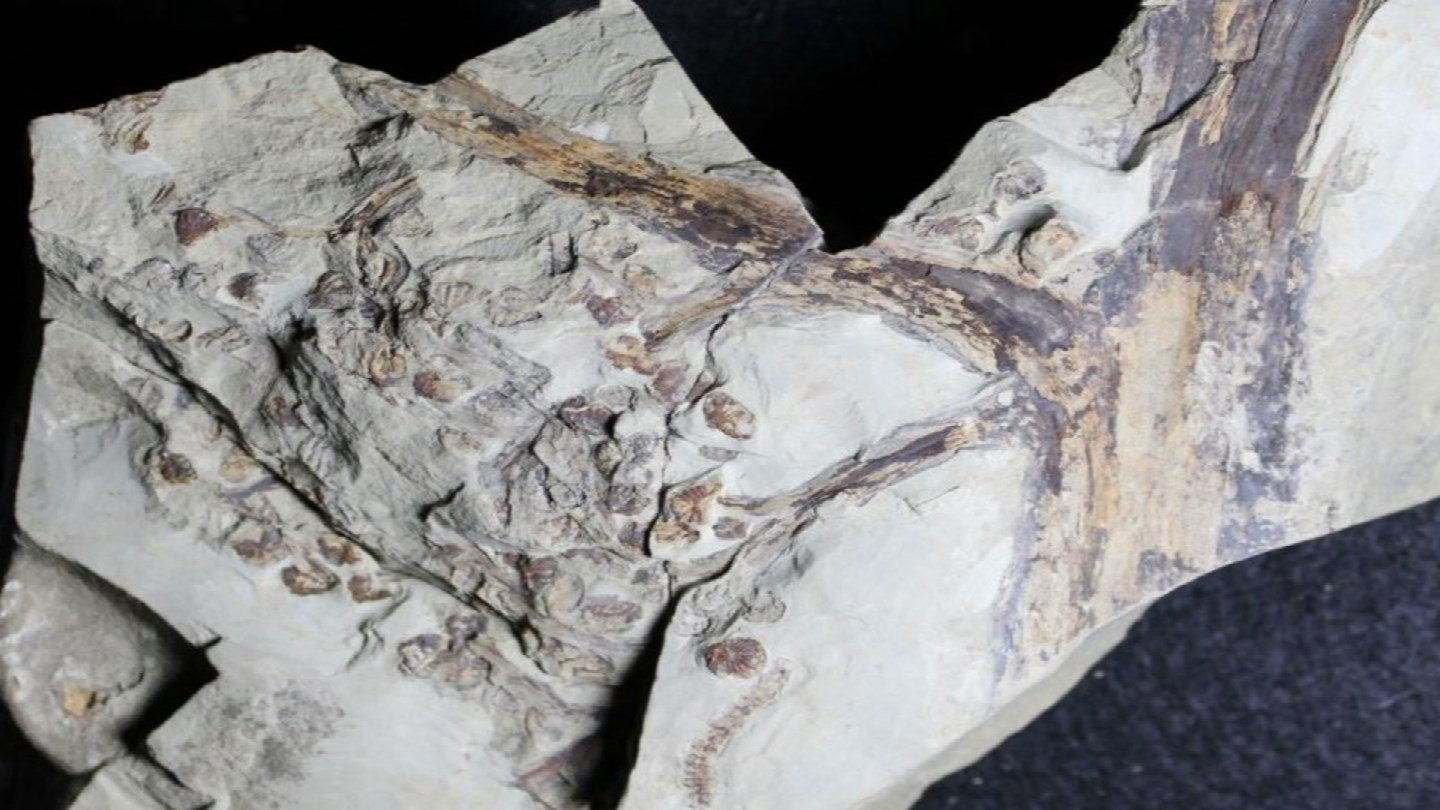 A fossil discovery in Parkville is opening a whole new look at Kansas City's history.  The plant fossil is three times older than a Tyrannosaurus rex. (Park University)