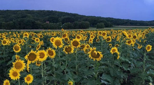 A Lawrence farmer is hoping to attract visitors to his sunflower plot over Labor Day weekend. (George Hunsinger)