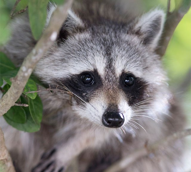 Kansas State University's Veterinary Health Center is warning dog owners to be careful amid a recent outbreak of a highly contagious disease among raccoons. (AP)