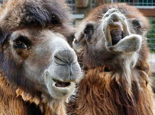 Authorities have seized camel milk in Kansas that prosecutors allege falsely claim unproven health benefits. (AP)