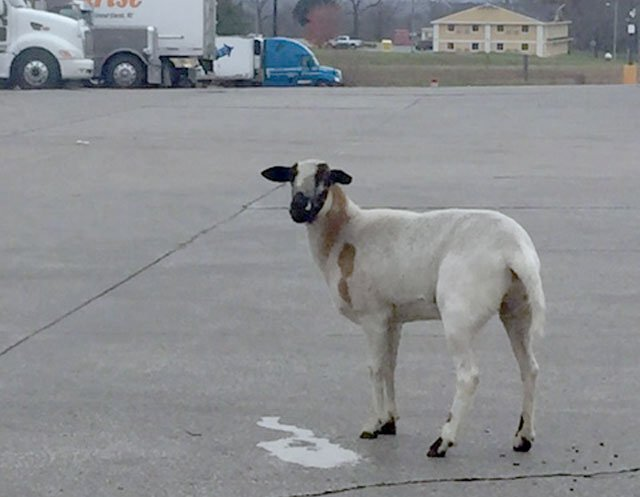 Is it a sheep? Is it a goat? What's it doing at a truck stop? These are the questions being asked in Higginsville. (Amy Anderson/KCTV5 News)