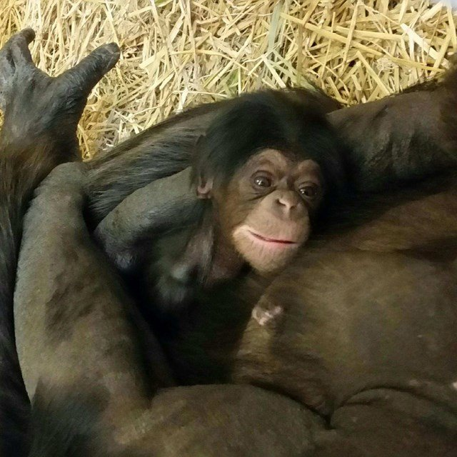 Zoo officials say chimpanzee Teetoo welcomed a baby girl named Gracie, on Tuesday morning. (Kansas City Zoo)