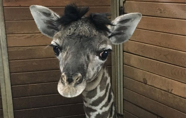 The newborn giraffe at the Kansas City Zoo is behind the scenes for now, but you can still get a chance to see her up close. (Kansas City Zoo)