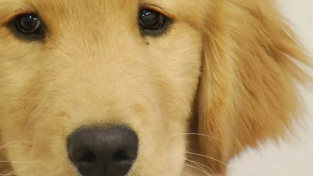 Symptoms of the dog flu include coughing, fever, loss of appetite, clear nasal discharge, yellow or green eye mucus and acting lethargic. (KCTV5)