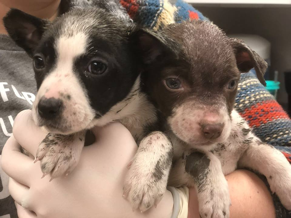 Investigators say 8-week-old puppies were victims of a domestic violence and animal abuse case over the weekend. (KC Pet Project/Facebook)