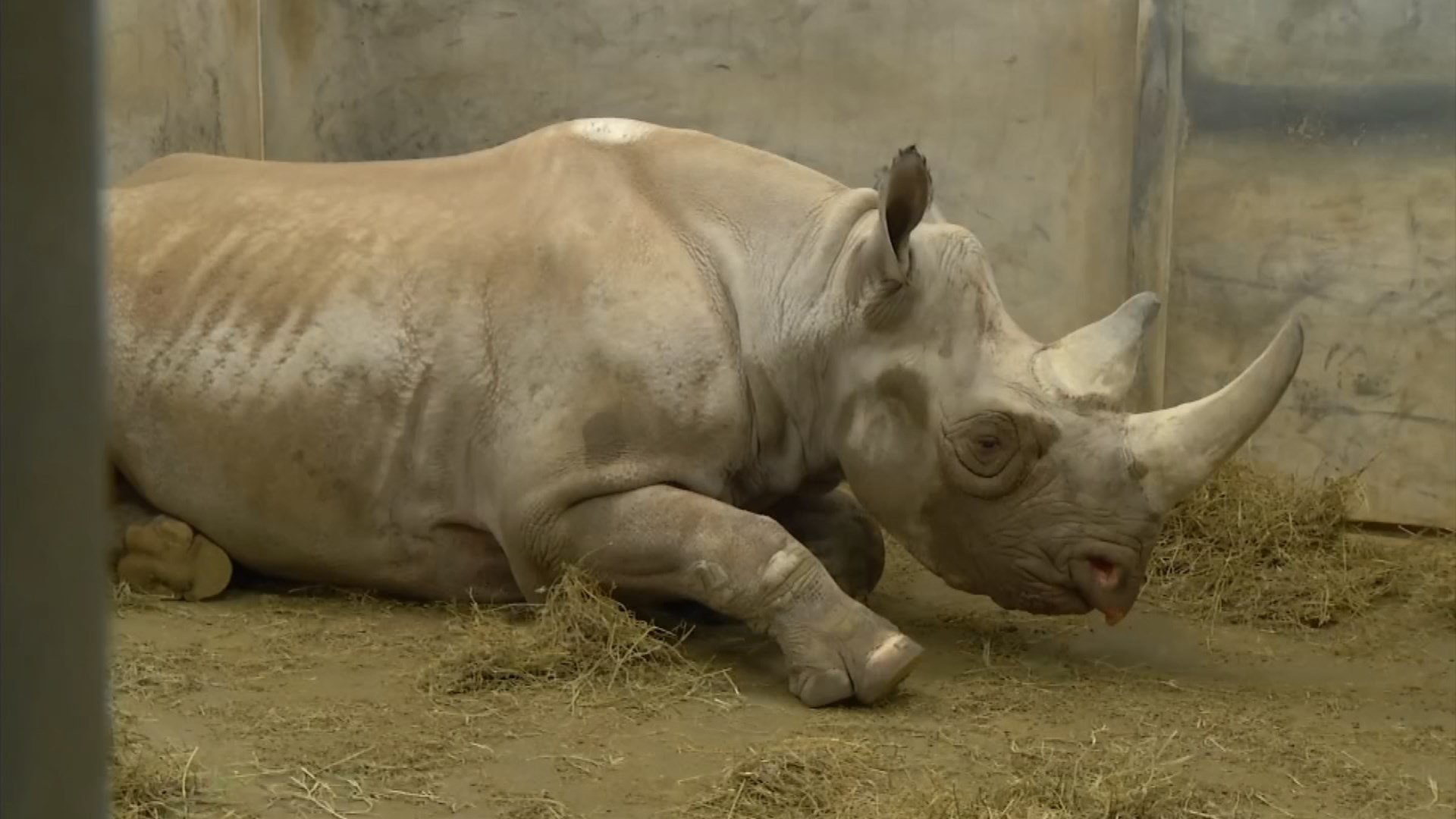 Imara is a 13-year-old eastern black rhino at the Kansas City Zoo. There are only a few thousand like her left in the world. (KCTV5)