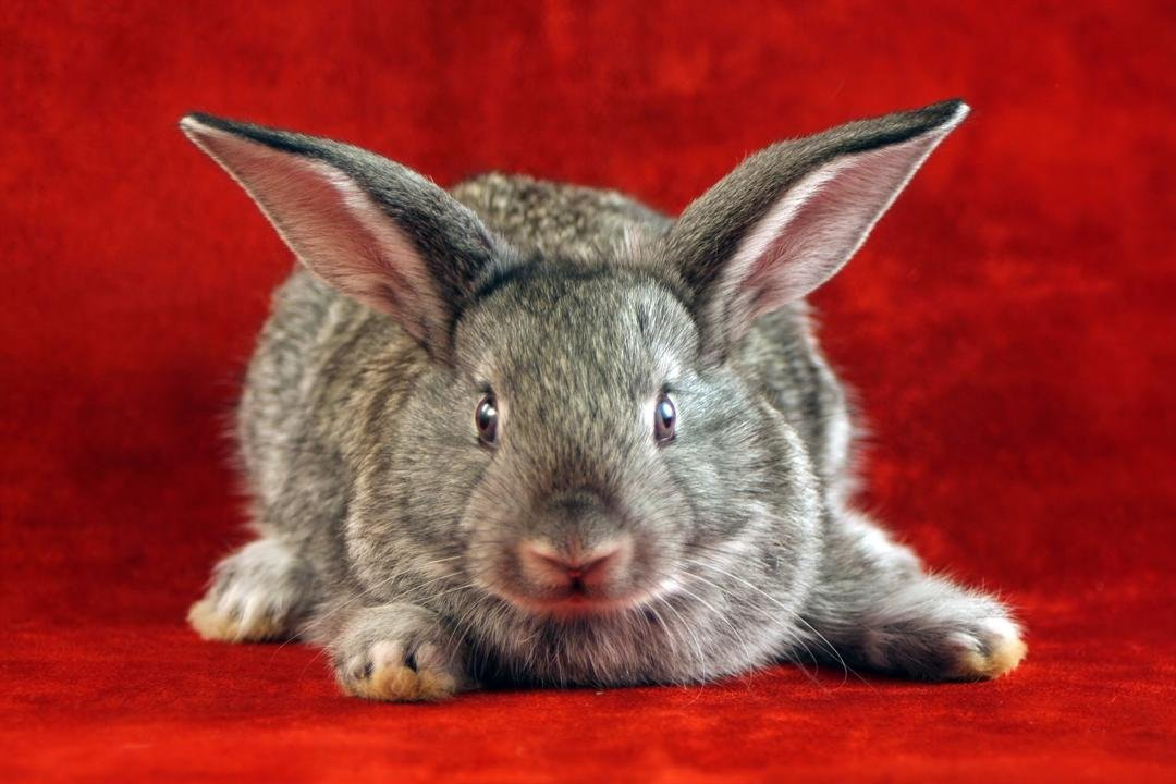 Let's talk about rabbits. Do they lay eggs? (Graphicstock)