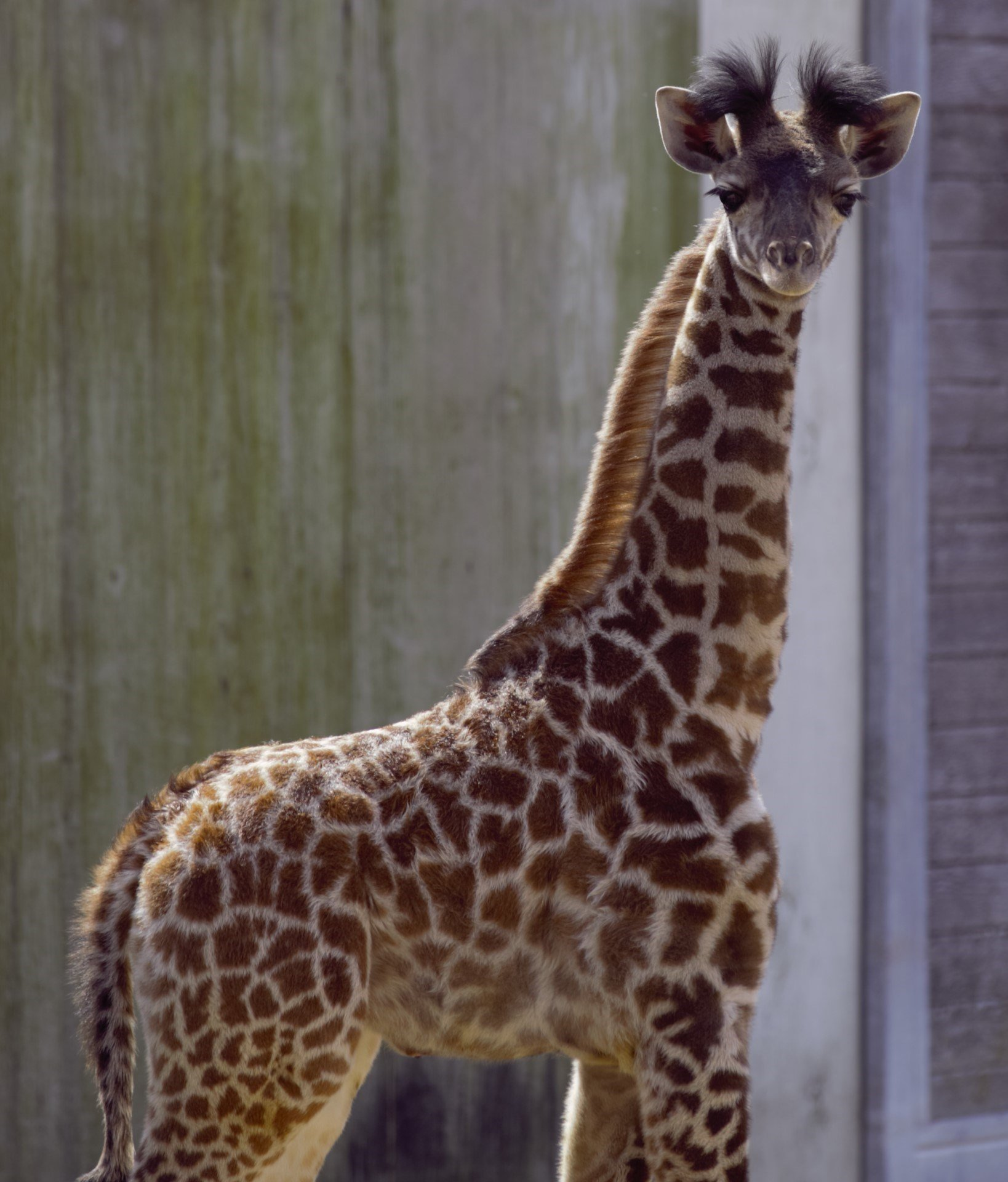 With warmer temperatures finally on the horizon, the Kansas City Zoo's giraffe calf is ready to make her public debut. (Kansas City Zoo)
