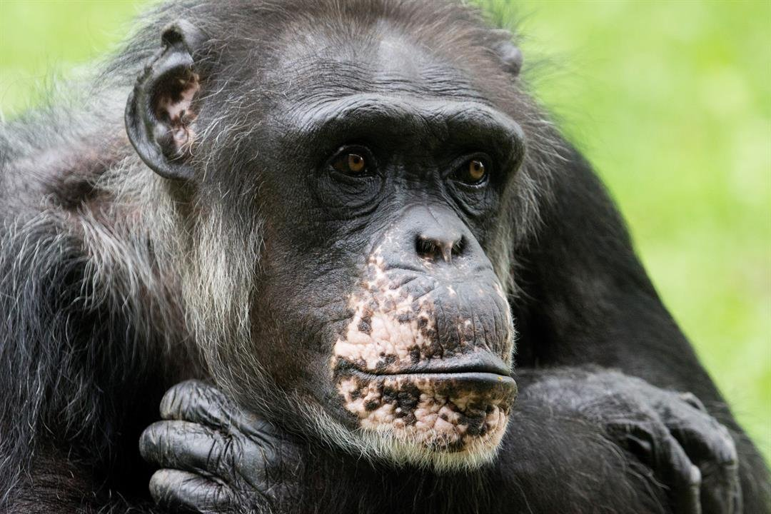 Patty was a familiar face at the chimpanzee habitat and a matriarch of the troop. Zoo officials said she was one of the most recognizable animals they had at the zoo. (Kansas City Zoo)