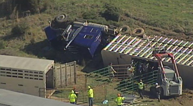 Police say the truck was carrying between 80-100 head of cattle when the truck overturned. (KCTV5)