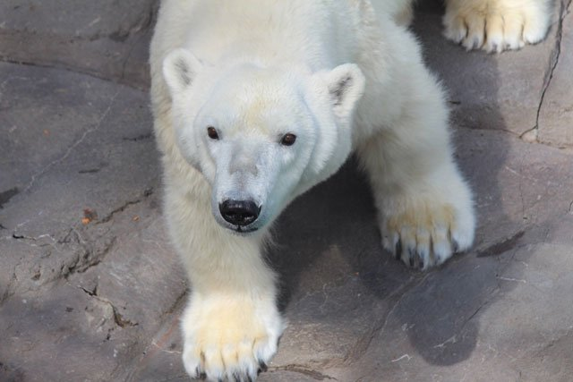 Bam Bam, a 30-year-old female bear, has joined Berlin, a 28-year-old female, in the Polar Bear Passage. (Kansas City Zoo)