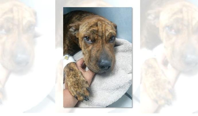 Police also say there was evidence of previous physical abuse to the five-month-old dog. (Courtesy: Beauties and Beasts via KWCH)