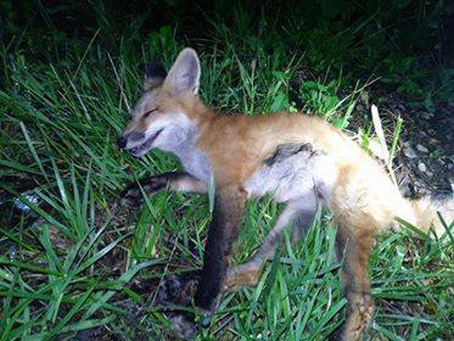 The department says its officers felt that, if given the proper treatment, the fox could recover. (Facebook/Harrisonville Missouri Police Department)