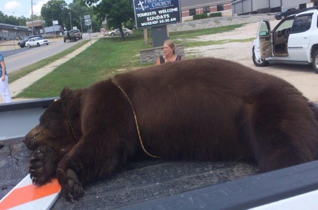 A 400-pound male black bear was found dead Sunday in the Current River near the southern Missouri town of Van Buren. (Ozark National Scenic Riverways)