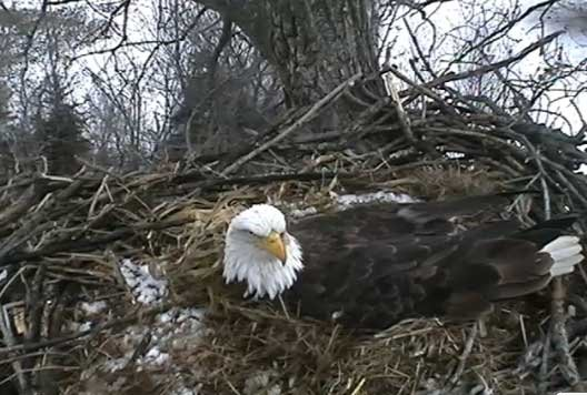 The eagles have gained international attention because of an Internet cam set up by the Raptor Resource Project. The website that allows people to watch has been viewed millions of times.