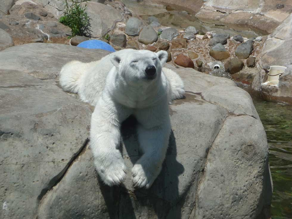According to the 2-year-old canine, Berlin is not pregnant.  This comes after the zoo recently submitted feces from the polar bear to be a part of a study.