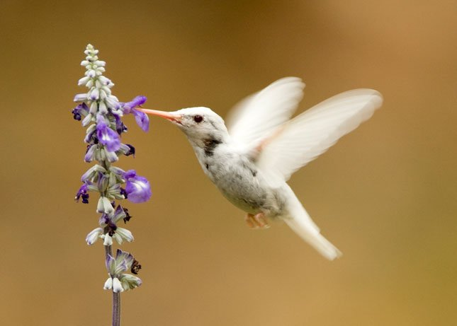 This extremely rare albino ruby-throated hummingbird visited a backyard feeder at Lake Waukomis for three weeks.  Hummingbirds are migrating southward now and backyard feeders can be a help to them during this drought. (Photo courtesy Linda Williams)