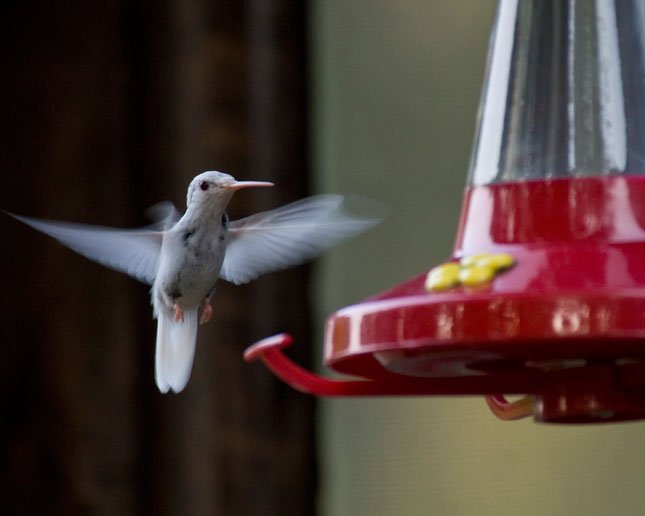 This extremely rare albino ruby-throated hummingbird visited a backyard feeder at Lake Waukomis for three weeks.  Hummingbirds are migrating southward now and backyard feeders can be a help to them during this drought. (Photo courtesy Mary Nemacek)