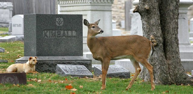The doe, named Ella, and the dog have been at each other's sides in the 43-acre Elmwood Cemetery for the last few months. (Image courtesy: Bruce Mathews)
