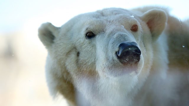 The doors opened Thursday morning for Berlin to sniff out her new home at the Kansas City Zoo's Polar Bear Passage.  (Chris Oberholtz/KCTV5)