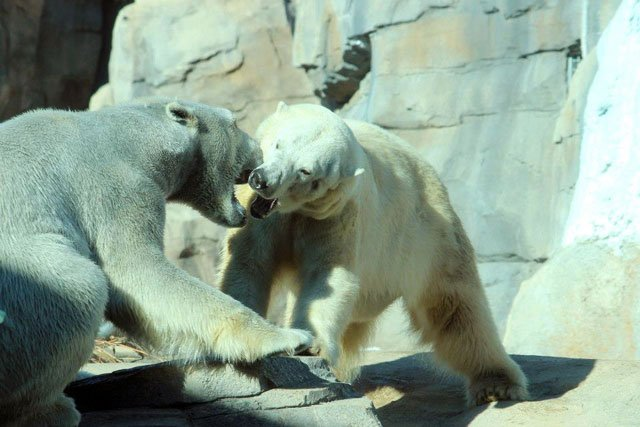 The Kansas City Zoo's two big white polar bears have met nose to nose, eye to eye and paw to paw. (Photo courtesy: Kansas City Zoo)