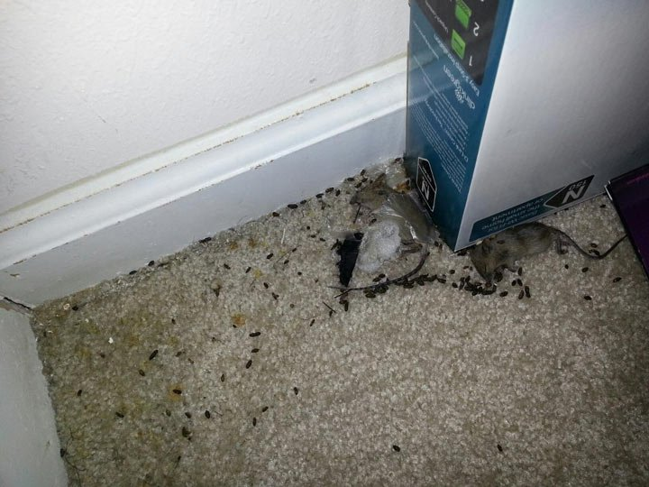 Mice droppings and dead mice found in one woman's home