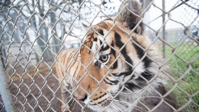 Deputies said the property was inundated with cages inadequate for animals to be living.  The cages were not secure or stable and out of compliance for exotic animals to be housed, authorities said. (Kathy Milan/Humane Society of the United States)
