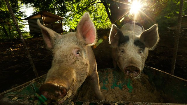 Pigs on a farm owned by Jeremy Gross eat feed comprised of a mixture of wheat mash left over from the production of vodka, nutritional pellets, and leaves, stems, and other byproducts of medical marijuana. (AP Photo/Ted S. Warren)