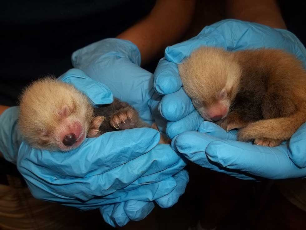 Red panda cubs at the Kansas City Zoo