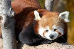 Adult panda at the Kansas City Zoo