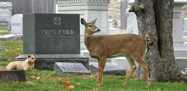A doe who got national attention after she made friends with a stray dog and the two hung out in a cemetery has been shot and killed. (Photo courtesy: Bruce Mathews)