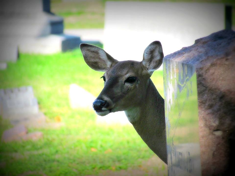 Ella the deer had been living in Kansas City's Elmwood Cemetery for some time and had become almost a tourist attraction for the area. (Photo courtesy: Stephanie Turbiville)