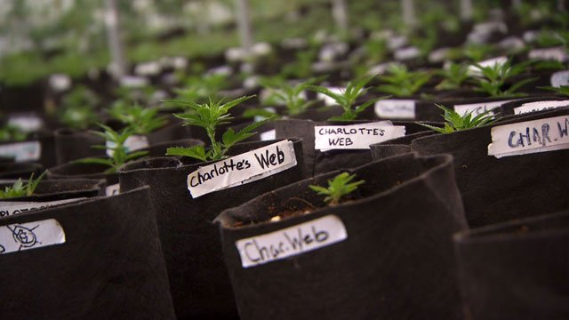 The marijuana strain Charlotte and 41 other people use to help their symptoms has been named after her. It's called Charlotte's Web. (CNN)