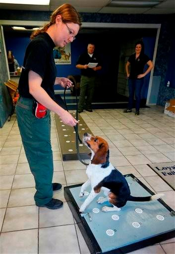 (AP Photo/Orlin Wagner). Amy Grandgenett handles Elvis, a 2-year-old beagle, while sniffing polar bear protein samples at Iron Heart Performance Dog Center in Shawnee, Kan., Monday, Oct. 28, 2013.