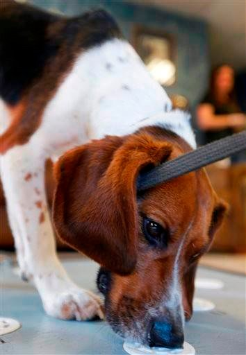 (AP Photo/Orlin Wagner). Elvis, a 2-year-old beagle, sniffs polar bear protein samples at Iron Heart Performance Dog Center in Shawnee, Kan., Monday, Oct. 28, 2013.