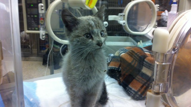 The two kittens are currently at BluePearl animal hospital in the Northland. (Steven Tur/KCTV5)