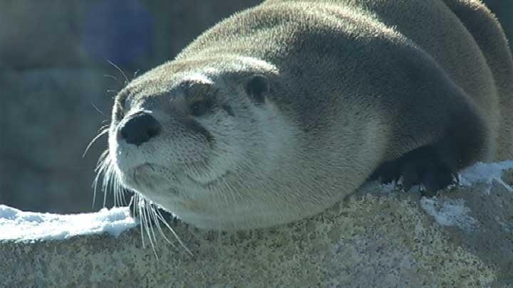 Otter at Kansas City Zoo on Tuesday